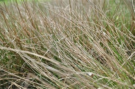 pas grass swinging long sw grass free image on 4 free photos
