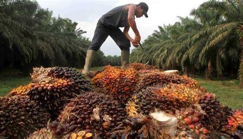 Minyak Kelapa Per Kilo alhamdulilah harga tbs kelapa sawit terus membaik