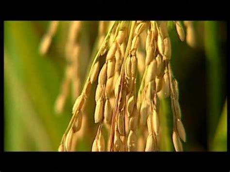 Beras Merah Organik Nyi Sri budidaya padi organik metode sri 1 funnycat tv
