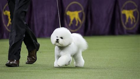 Best In Show Puppy 15kg superb bichon frise wins best in show at westminster show
