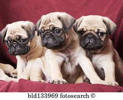 pug sofa pugs stock photos and images 6 983 pugs pictures and royalty free photography