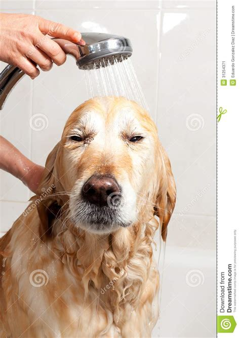 How Does A Puppy To Be To Shower by Bathroom To A Stock Image Image 31254371