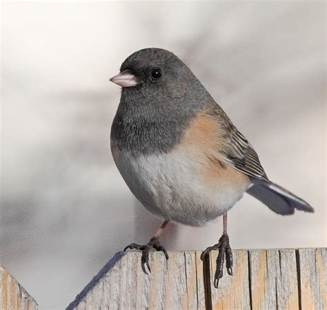 top 28 what do eyed juncos eat south burlington birds