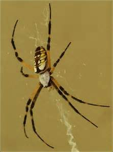 Garden Spider Orange Legs Black Orange Legs White Top Fangs Argiope