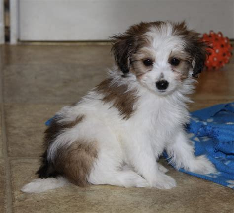 pomeranian poodle mix puppies for sale yorkie pomeranian mix cake ideas and designs