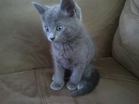 russian for sale russian blue kittens vaccine warm peterborough cambridgeshire pets4homes
