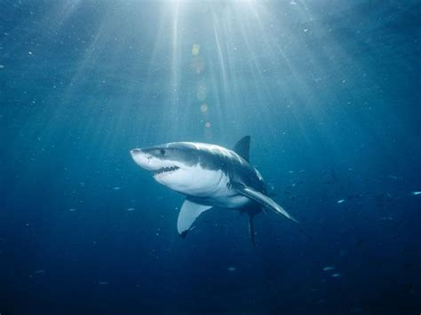 shark pictures shark wallpapers national geographic