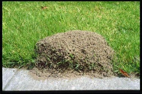 how to get rid of fire ants in the house how to get rid of fire ants gardening bugs and weeds pinterest