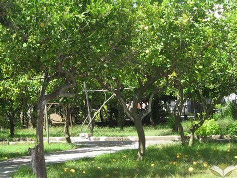 il giardino dei limoni un itinerario a procida l isola di arturo e di graziella