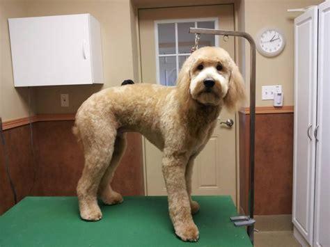 labradoodle haircut pictures labradoodle haircut puppy cut doodle trim groom dog