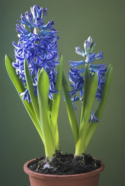 indoor flowers hyacinth care indoors after flowering what to do with
