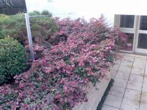 Evergreen Shrub With Purple Flowers - loropetalum chinense rubrum blush warners nurseries