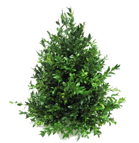 boxwood tabletop christmas tree index of img contenido