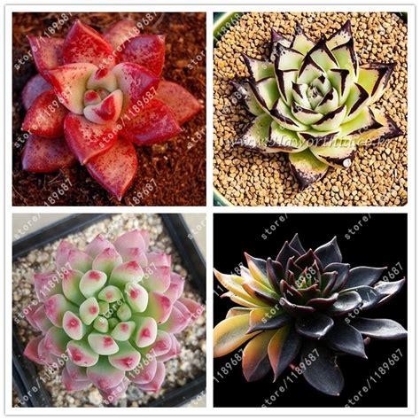 indoor plant seeds 100pcs bag succulent seeds echeveria succulents lithops