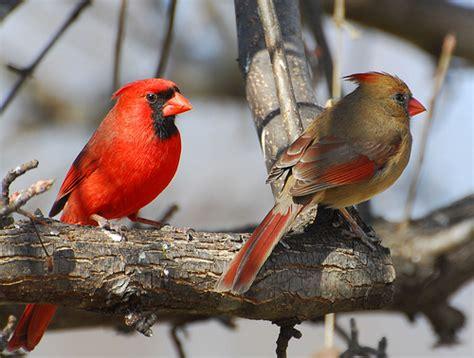 state bird of north carolina northern cardinal pair our state bird in north carolina