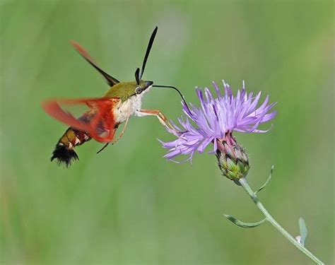nature canada the hummingbird moth one of canada s