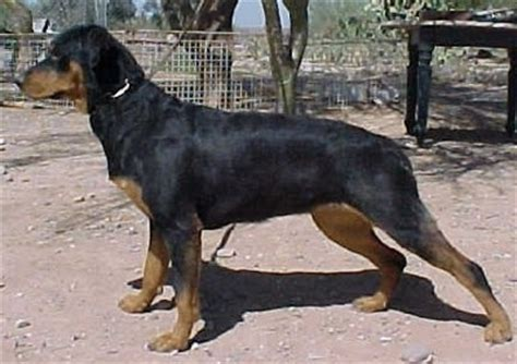 roan rottweiler rottweiler information and pictures