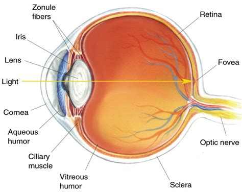 a diagram of a eye researchers successfully use grown cornea cells to cure