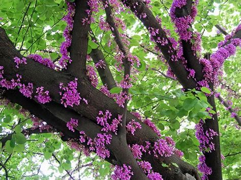 promise of spring blooms branches green leaves purple spring tree 36160