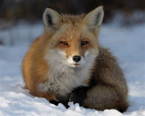 imagenes de zorros tristes mariajose zorro