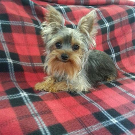 yorkies temperament the sexton family farm 1 small breeder in east tennessee terrier