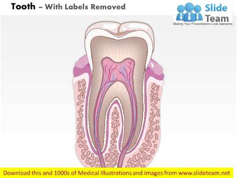 diagram of a tooth to label teeth diagram without labels gallery how to guide and