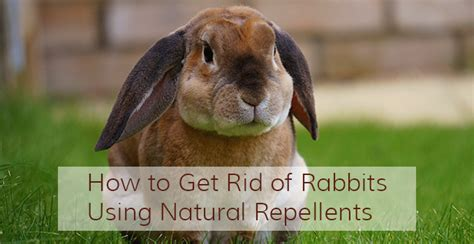 how to get rid of rabbits in your backyard how to get rid of rabbits natural and ultrasonic rabbit repellents