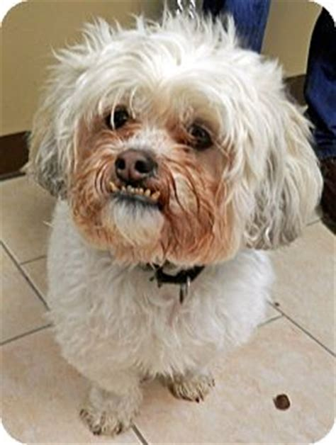 shih tzu rescue nj lhasa apso and shih tzu mix breeds picture