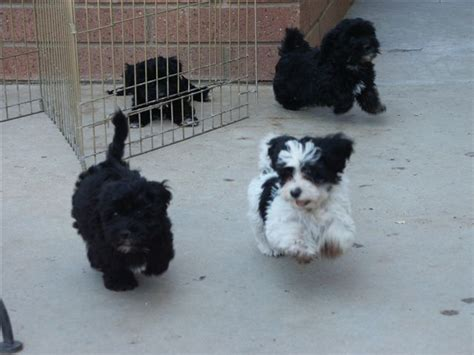 how big havanese dogs get democratic underground not a big fan of dogs but the havanese is one of the