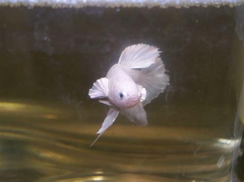 Ikan Cupang Plakat White Platinum betta splendens plakat halfmoon white platinum pkhmwp