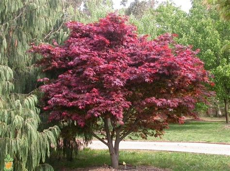 emporer one japanese maple trees for sale the planting tree