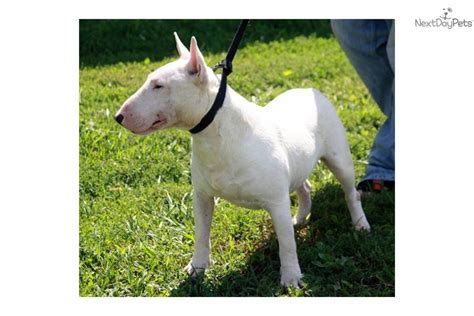 bull terrier puppies for sale in ohio registered bull terrier bull terrier puppy for sale near lima findlay ohio