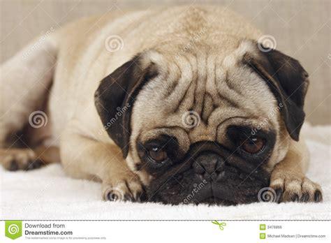 sad pug sad pug royalty free stock image image 3476866
