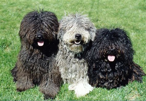 puli puppies saved by dogs the hungarian komondor and puli
