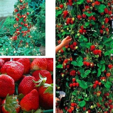 climbing strawberries plants 800pcs strawberry seeds 2016 new climbing