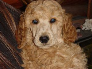 poodle puppies for sale in nc 16 best images about poodles for sale or adoption on