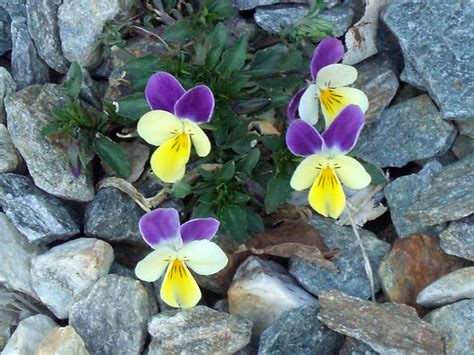 fiore zigomorfo viola tricolor l s l schede delle erbe piante e fiori