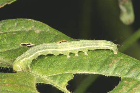 gcw soybeans crop pests insect information