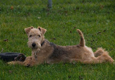 lakeland terrier puppies lakeland terrier puppies for sale akc puppyfinder