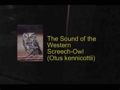 the sounds of an owl oregon screech maybe not youtube