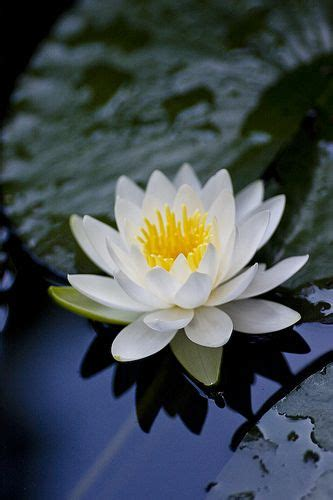 Lotus Lilly Best 25 Water Lilies Ideas On