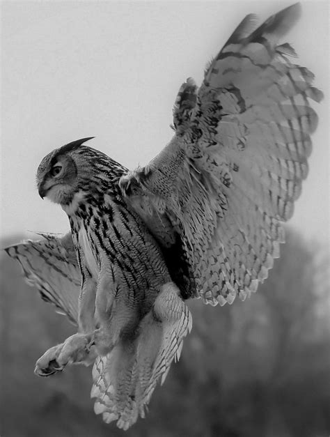 54 besten Greifvögel Bilder auf Pinterest | Falken, Die