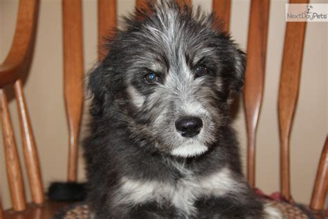 siberpoo puppies for sale mixed other puppy for sale near bowling green kentucky cefb73d7 ffa1