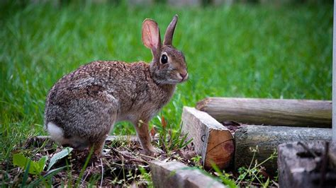 how to keep rabbits out of vegetable garden keep rabbits out of your fall garden vegetable gardener