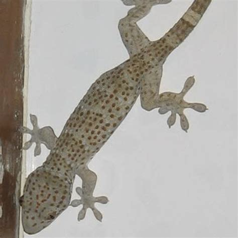 house lizard how to get rid of house lizards how to get rid of stuff