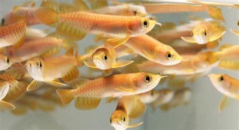 Arwana Golden 15cm daftar harga ikan arwana golden terbaru juli 2018
