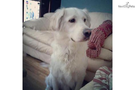 golden retrievers for sale in toledo ohio golden retriever puppy for sale near toledo ohio fa8e06f0 a381