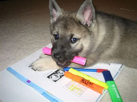 puppy studying elkhound puppy studying for med school pre vet student