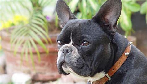 perros para vivir en un piso mejores razas de perros para vivir en un piso