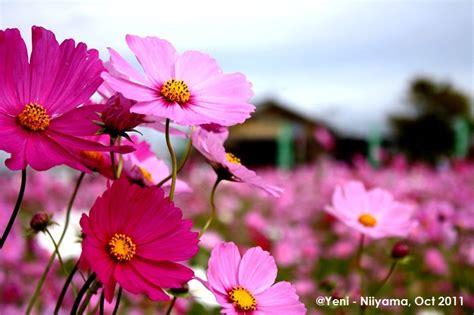 wallpaper bunga gugur jurnal saga 9 bunga cosmos the love flower penanda